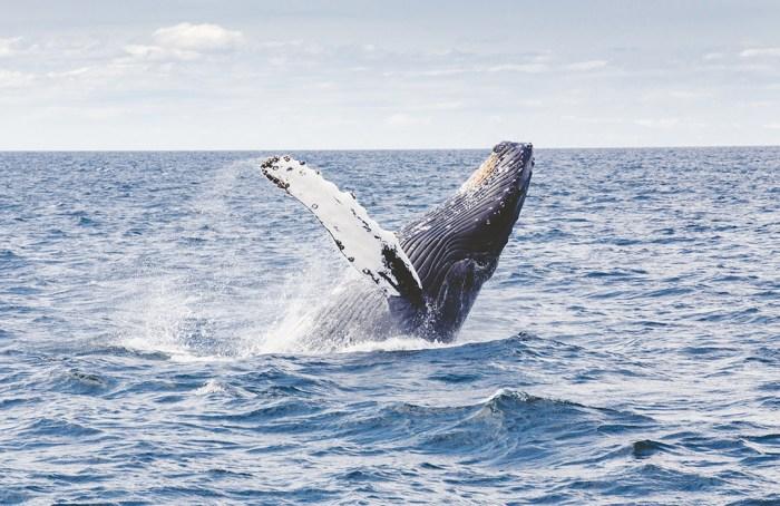 Ballenas en Wokii