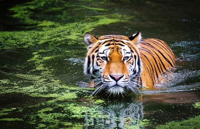 Los tigres se alejan del peligro de extinción