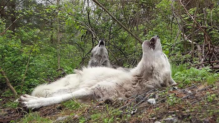 VIDEO: Estos lobos grises son tan flojos que aúllan sin levantarse de su lugar