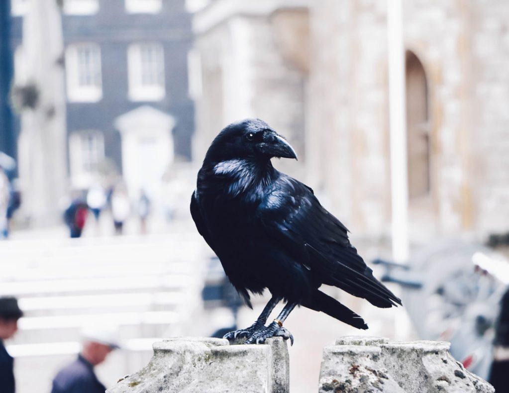 Comprobado: los cuervos son igual de inteligentes que los humanos