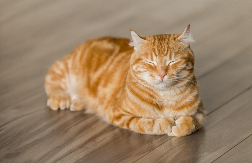 Estas son las horas que debe dormir un gato al día