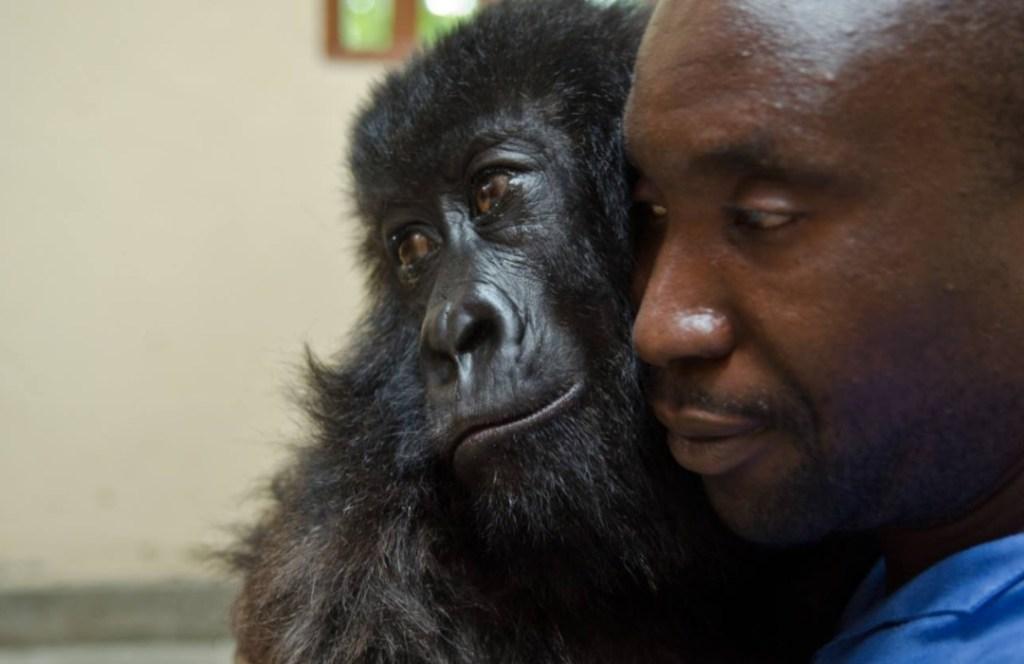 Esta gorila huérfana abraza a su cuidador como si fuera su padre