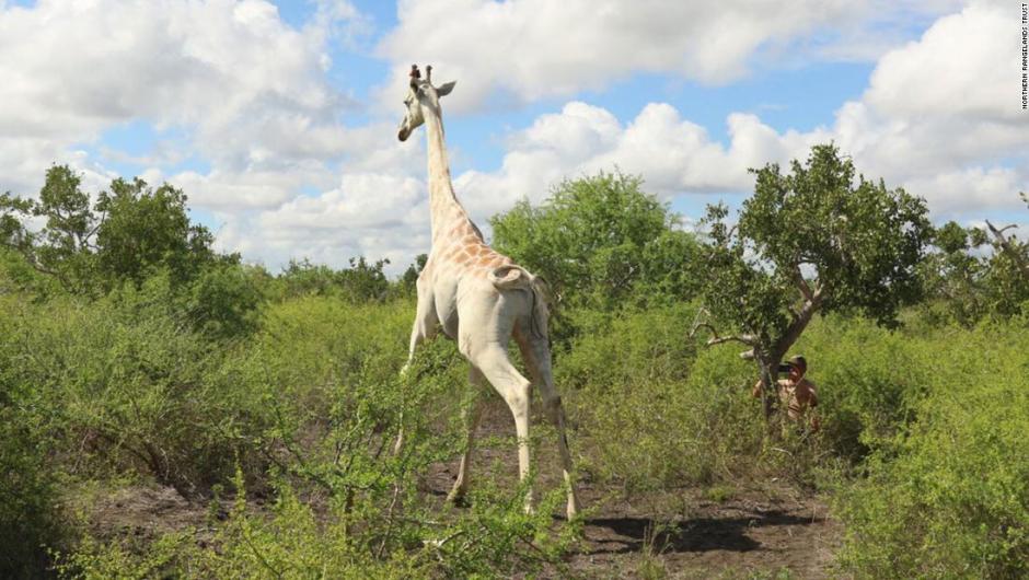 Solo queda una jirafa blanca en todo el mundo: le colocan GPS