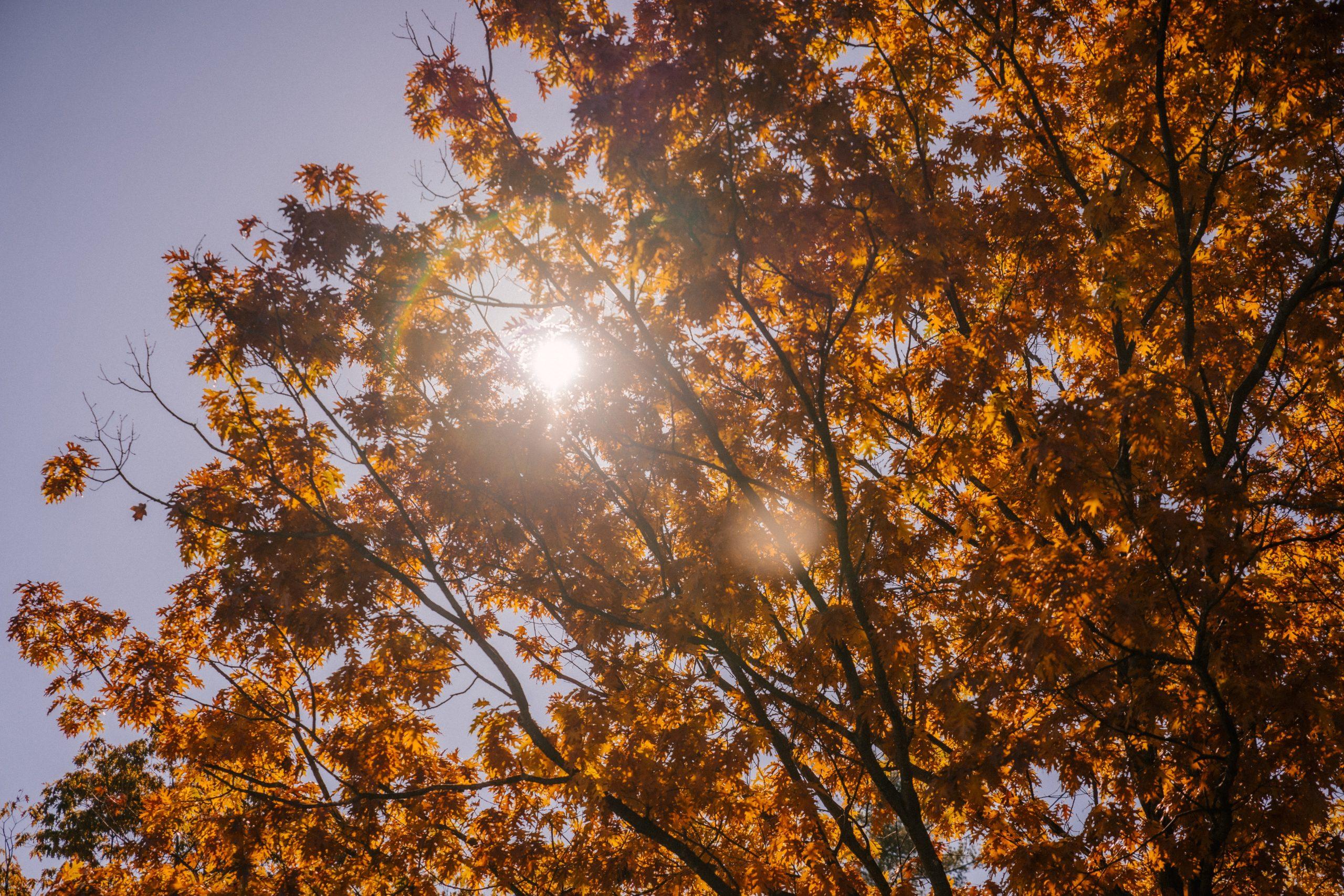 """Un árbol en Francia """"cura"""" el coronavirus, según creencias locales"""