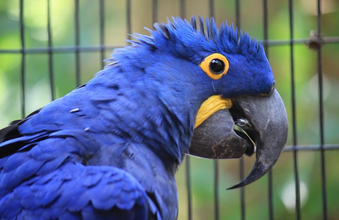 Nace guacamayo azul considerado extinto, y a todos nos pone felices