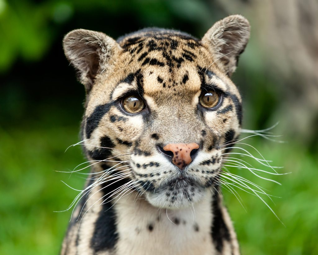 Reaparece pantera nebulosa, animal en peligro de extinción