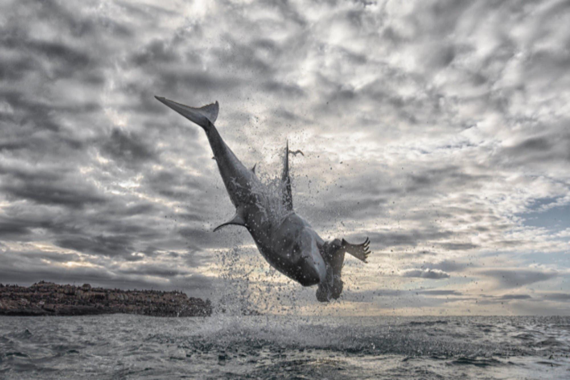 El salto más impresionante de un tiburón