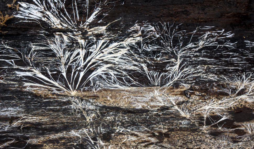 micelio