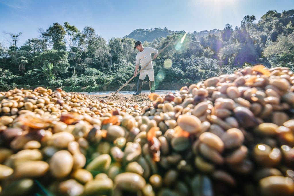 Empresas se unen para rescatar el café arábica del cambio climático