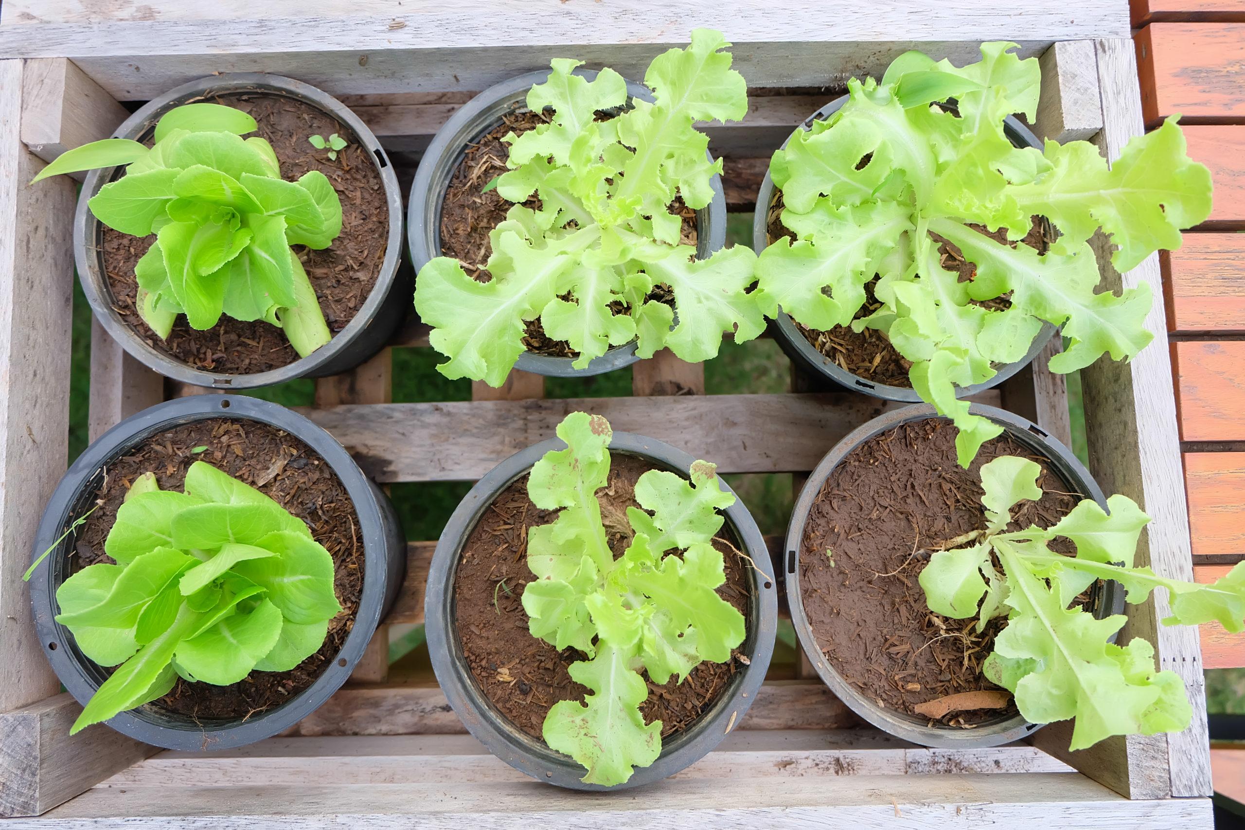 Cultivar lechugas en casa es más fácil de lo que imaginas