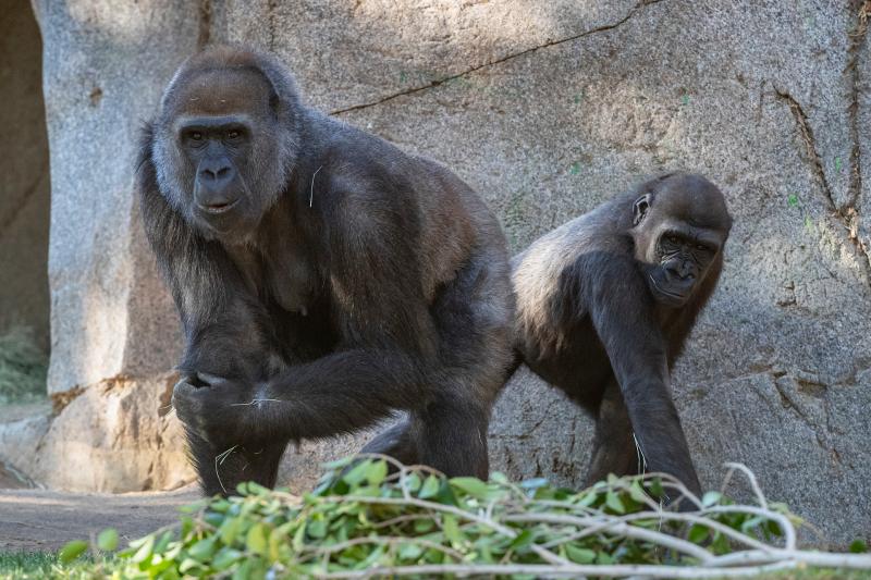 ¡Buenas noticias! Los gorilas del Safari Park de San Diego se recuperan del Covid-19