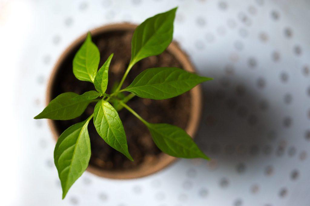 Así de fácil puedes cultivar albahaca en una maceta de tu casa