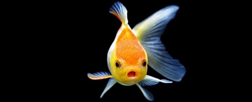 ¡Ojo! Los residuos de antidepresivos afectan a los peces