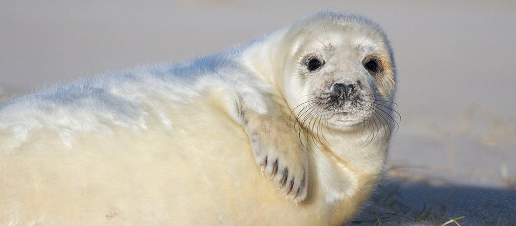 Se espera un baby boom de focas grises