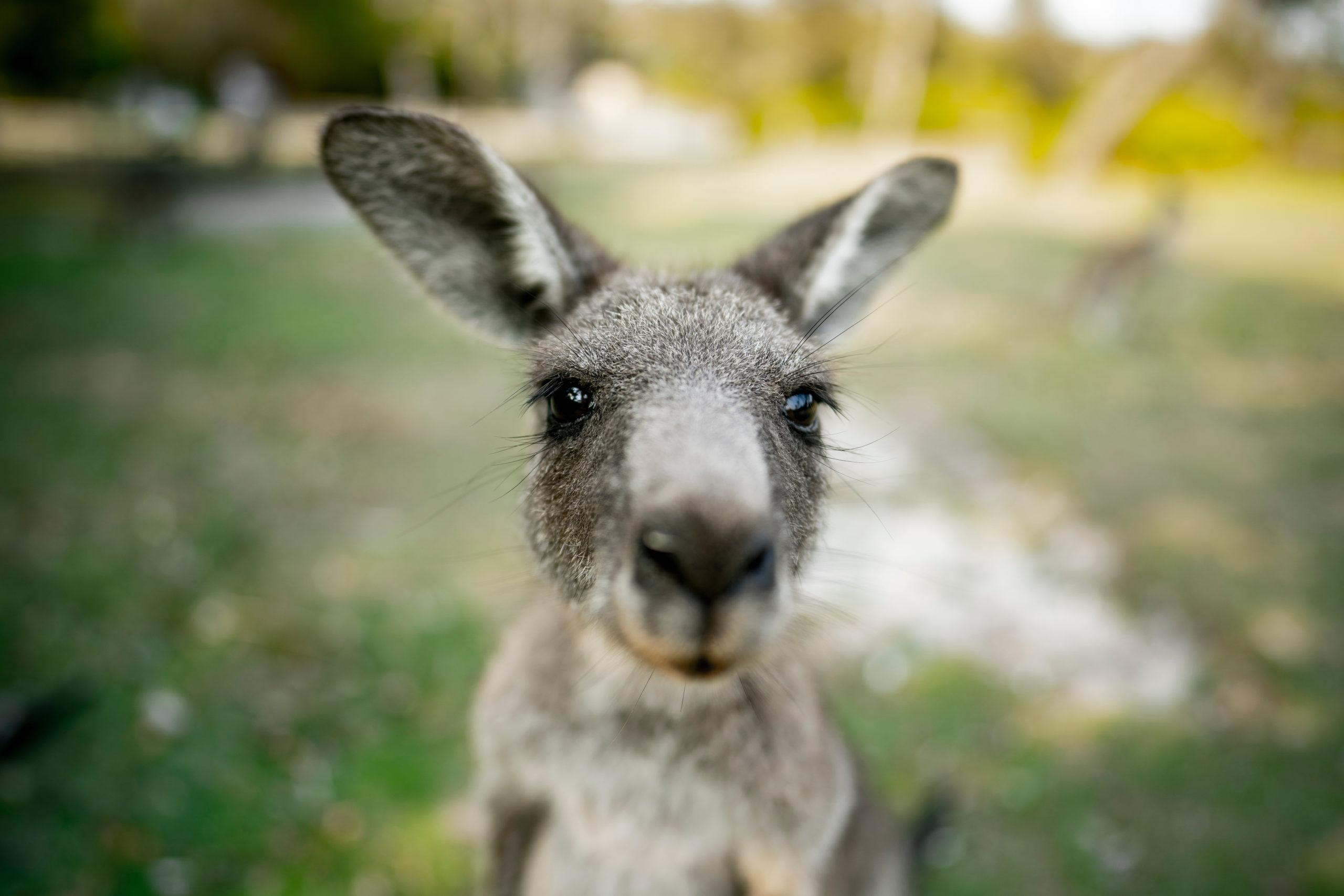 Estudio: los canguros salvajes pueden comunicarse de forma intencional con los humanos