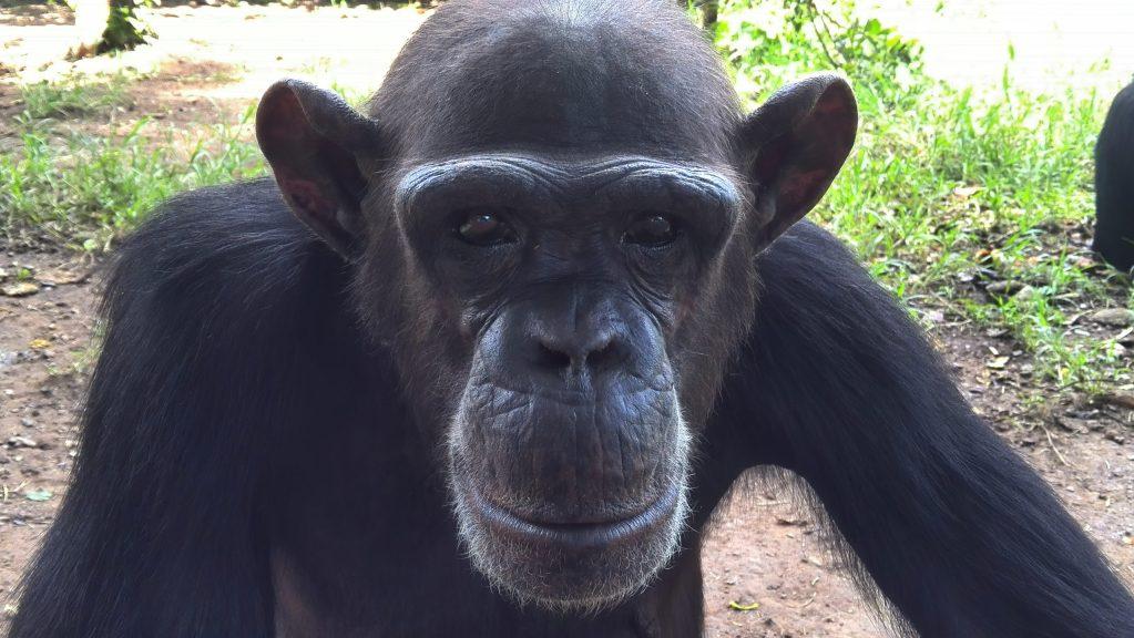 Amigos a distancia: estos chimpancés pasan su tiempo libre hablando por Zoom