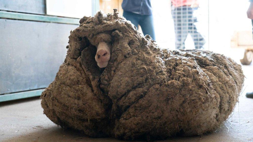 Rescatan a oveja salvaje con 35 kg de lana y casi ciega