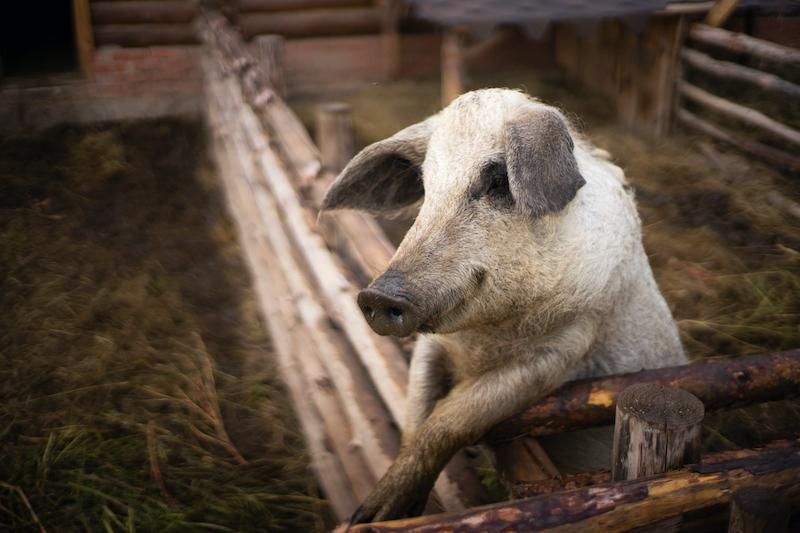 Con videojuegos, descubren que los cerdos son aún más inteligentes de lo que creíamos