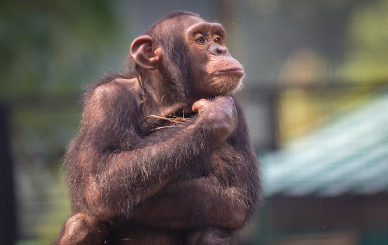 Científicos logran crear embriones quimera de hombre y mono