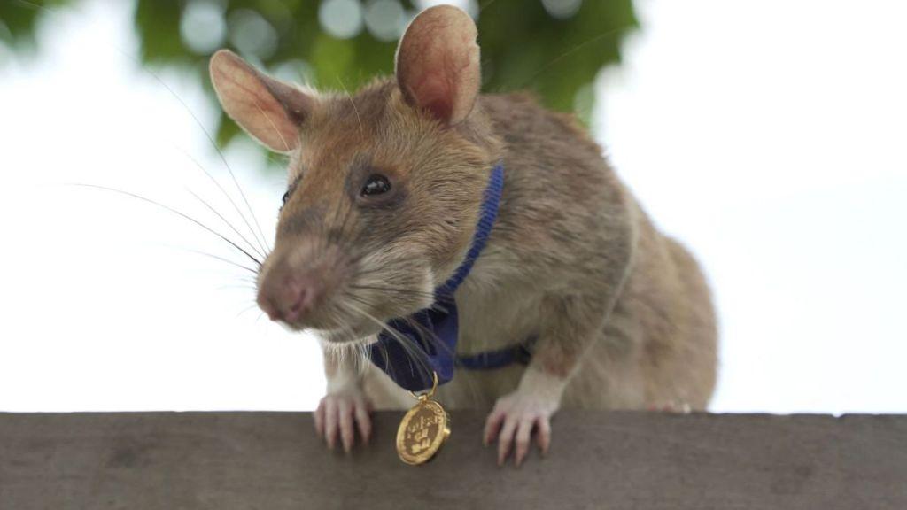 Se jubila Magawa, la rata que salvó miles de vidas al detectar explosivos