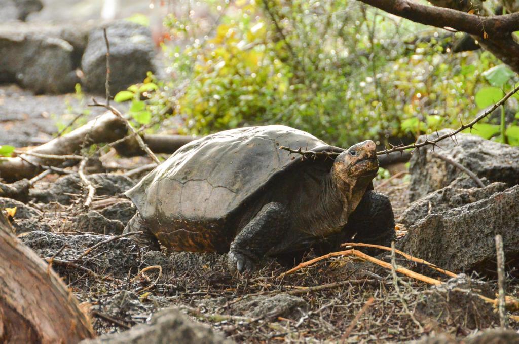encuentran tortuga que se creía extinta en Galápagos