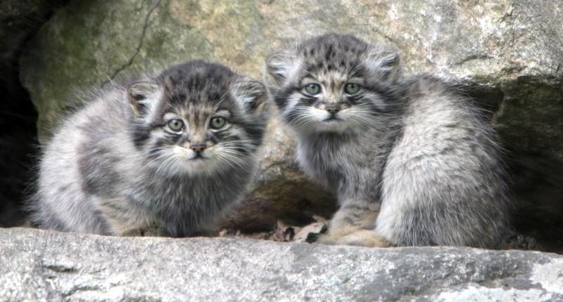 Aparecen crías de manul, un gato salvaje en vías de extinción