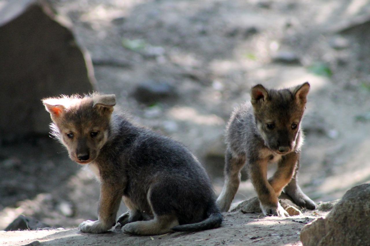 Nacen al menos 5 lobos mexicanos en Zoológico de Chapultepec <3