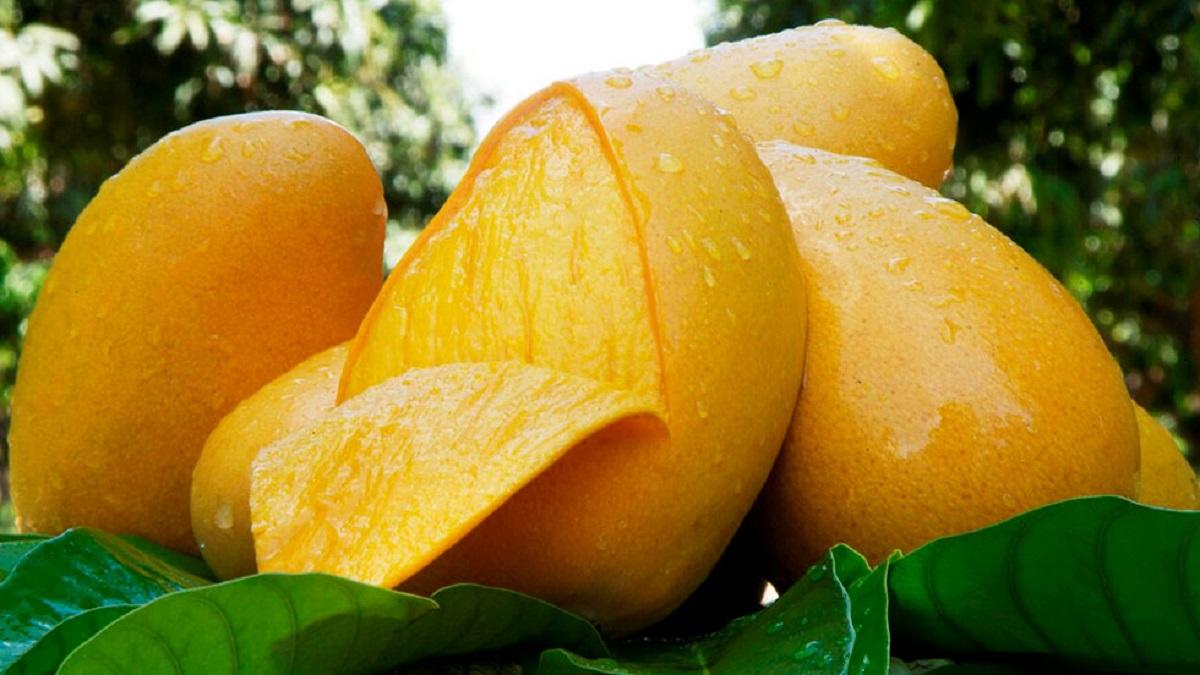 Cáscara de mango ¡tiene poderes cicatrizantes! Según estudio del IPN