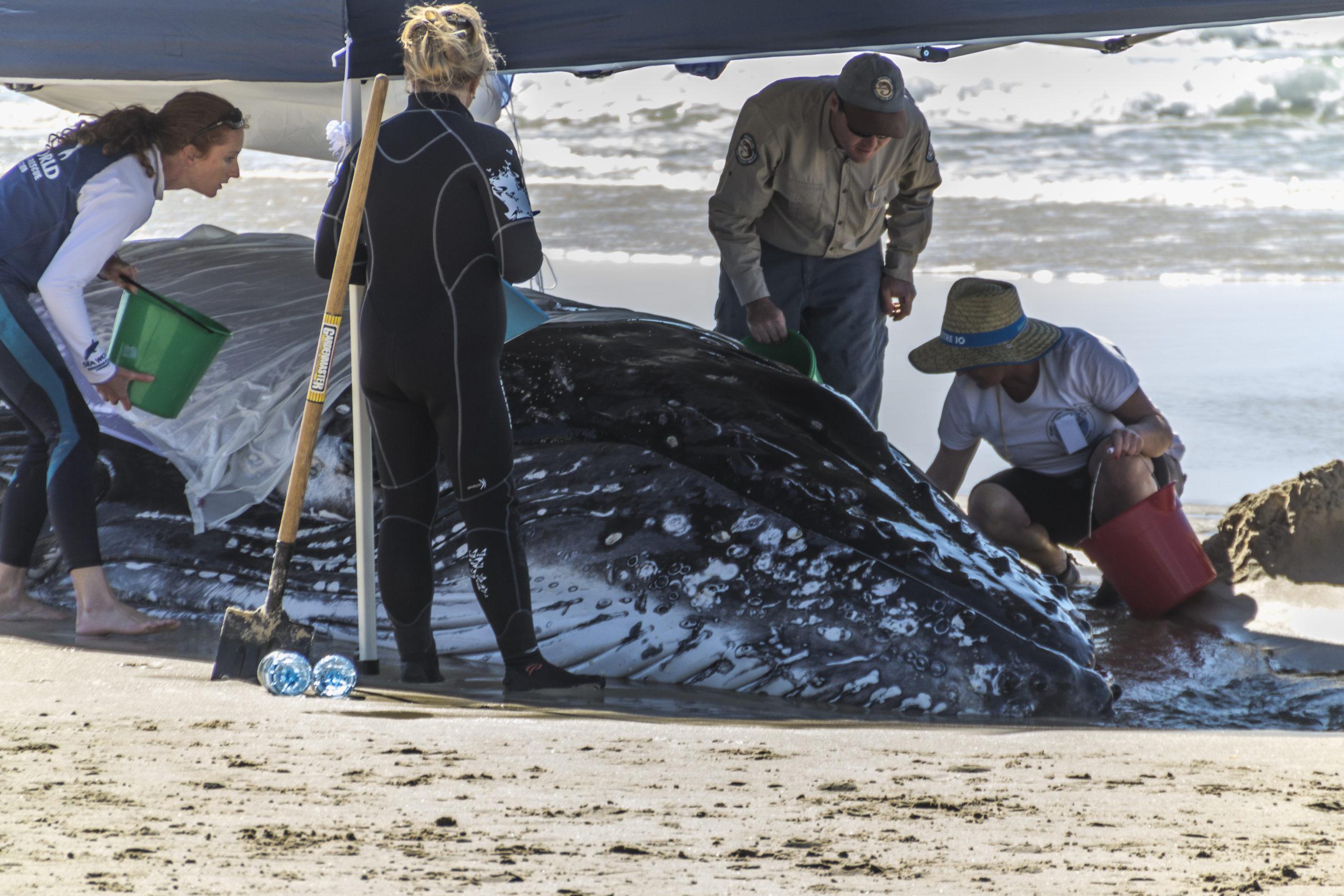 ¿Qué hacer si te encuentras a una ballena varada en la orilla del mar?