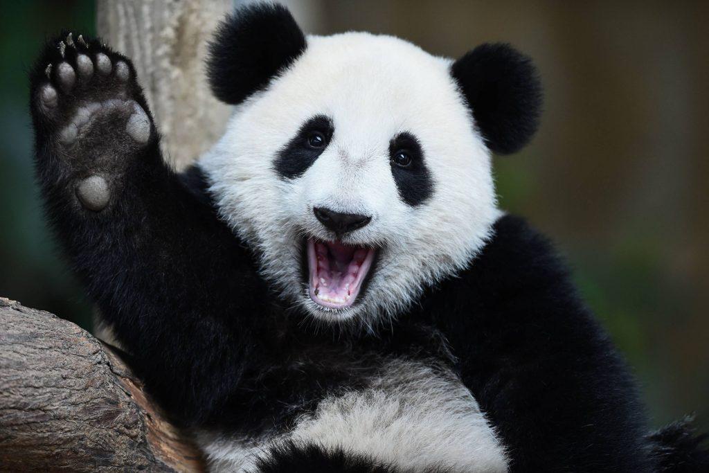 ¡GRAN NOTICIA! Los pandas ya no están en peligro de extinción