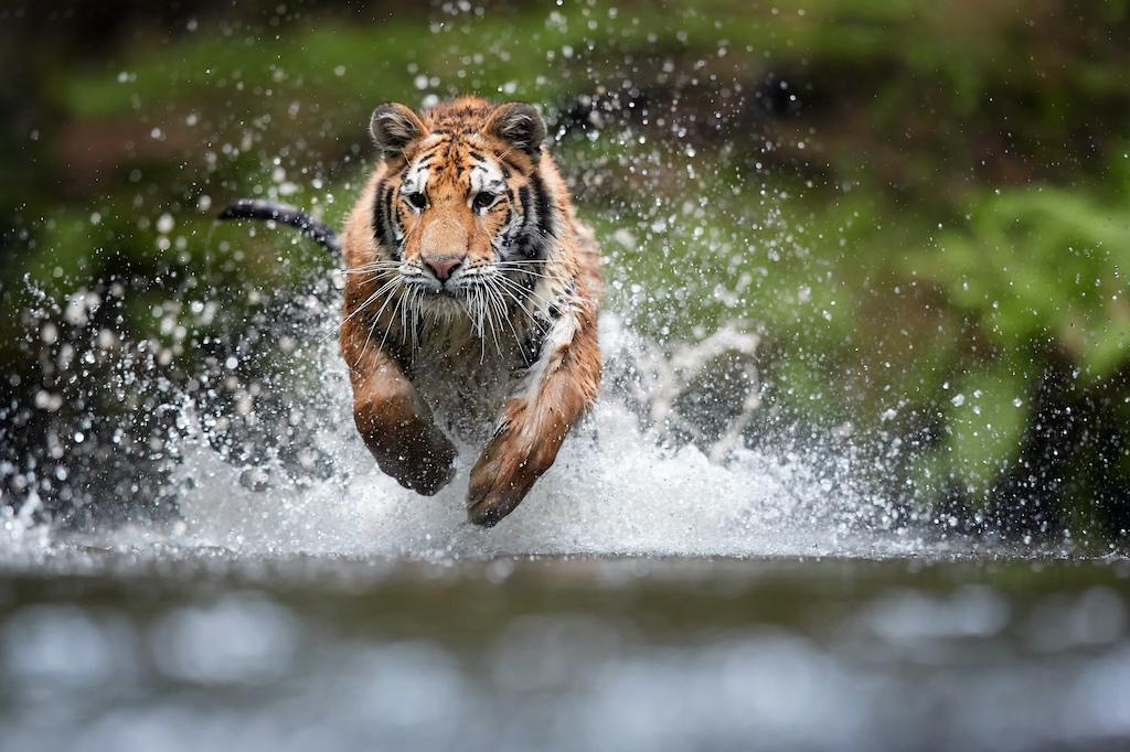 Día Internacional del Tigre: ¿Sabes cuántas especies de tigre quedan en el mundo?