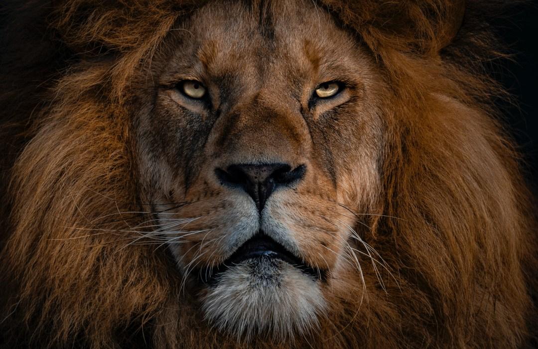 Día Mundial del León: 5 increíbles datos que no conocías sobre esta especie