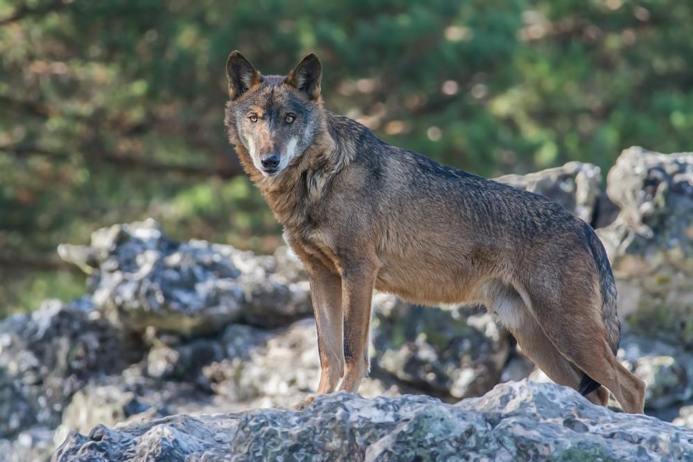 ¡Buenas noticias! En España prohíben la caza del lobo ibérico definitivamente