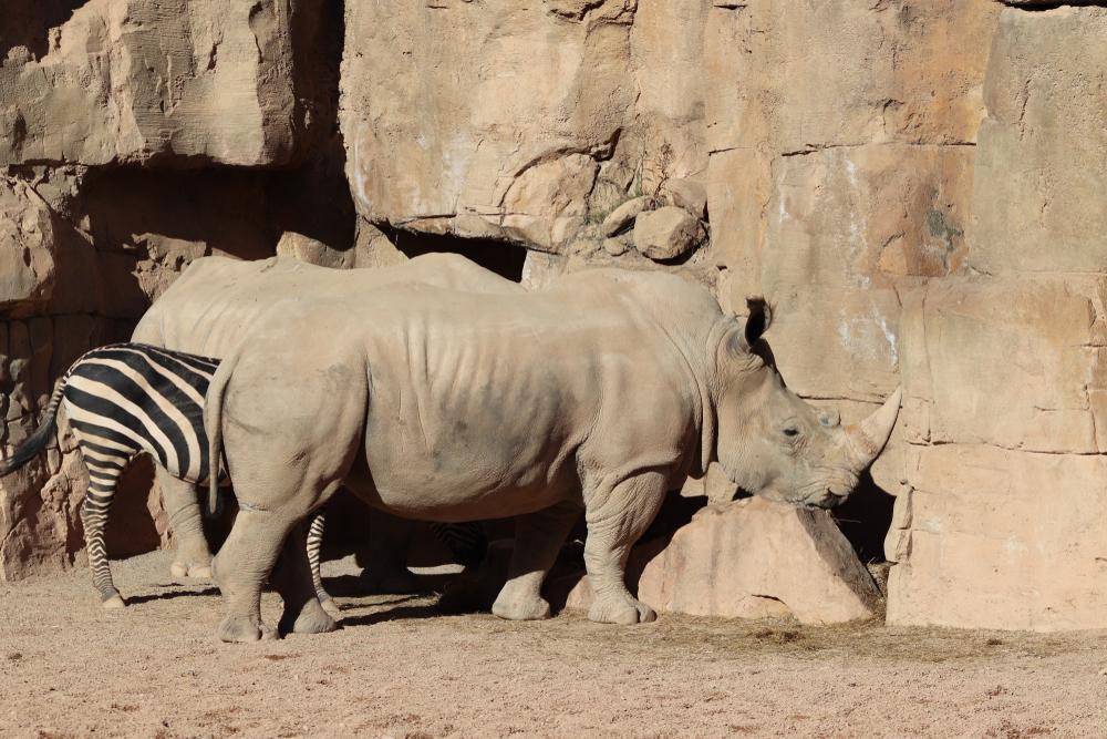 5 curiosidades de los rinocerontes que probablemente no conocías