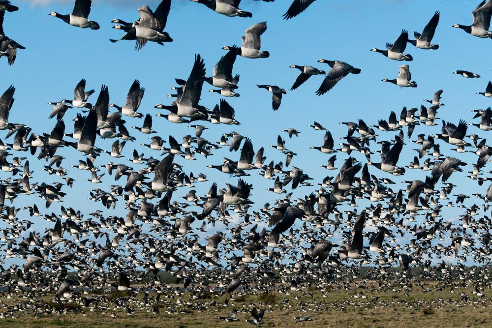 ¿Cómo afectó la pandemia en los recorridos de las aves migratorias?