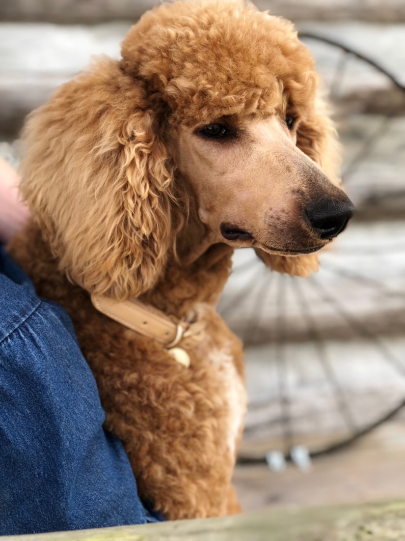 Standard Poodle Puppies Wolfe Island Poodles