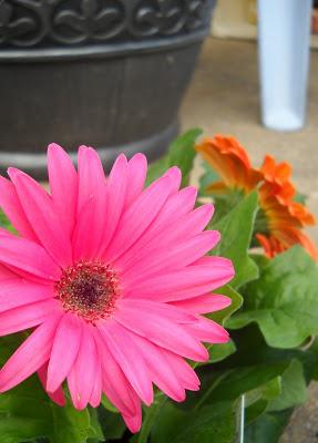 Pink Gerbera Daisy - from Garden Harlot