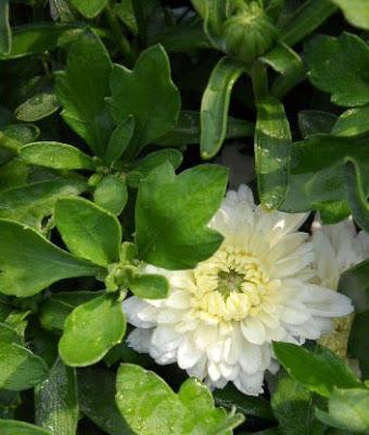 White Chrysanthemum - from Garden Harlot