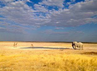 Giraffe and an Elephant at watering hole...