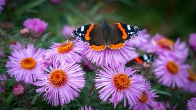 Roter Admiral (Schmetterling) auf Blüten