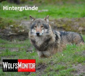 wolfsmonitor die r ckkehr des wolfes nach deutschland. Black Bedroom Furniture Sets. Home Design Ideas