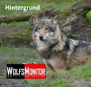 Wolf im TP Nordhorn (Foto: Vogler)
