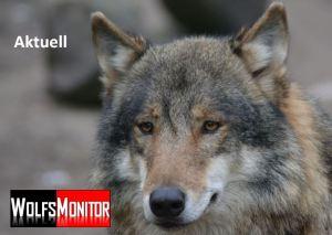 Wolf (Foto: Vogler)