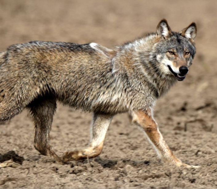 Verletzter Wolf, Bild 2, 18.5.2016