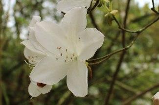 A lovely white Azalea