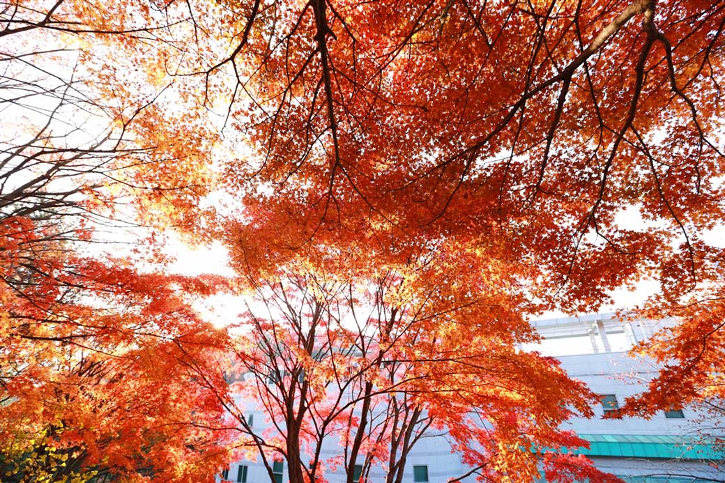 The three maple trees captured in this shot form one collective collage of art!