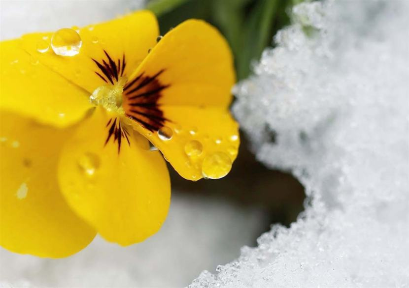 A yellow flower amidst the melting snow in Wolmyeongdong.