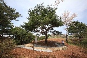 Wolmyeongdong Prayer Miracle Pine (Formerly Haetae Pine) 2