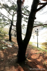 Y-shaped Pine Tree