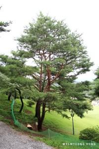 Wolmyeongdong Y-shaped Pine 2